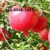 批发软籽石榴苗、石榴树苗、红珍珠石榴树苗