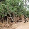 石榴树苗多少钱一棵-突尼斯软籽石榴多少钱一棵