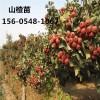 供应2公分3公分4公分大棉球山楂树基地