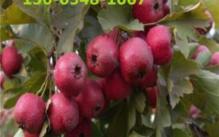 供应大金星山楂树价格大棉球山楂树苗规格齐全