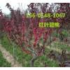  供应3公分-4公分-5公分红叶碧桃价格