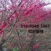  出售6公分7公分8公分红叶碧桃树苗基地