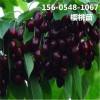   供应车厘子樱桃树/2公分樱桃树价格