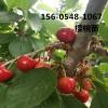 出售5公分6公分樱桃树苗报价多少