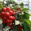 山东黑珍珠樱桃树价格-产地直销樱桃树苗基地