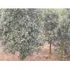 供应大叶黄杨等多种绿化苗木