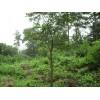 供应朴树等多种绿化苗木