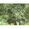 供应红叶石楠等多种绿化苗木
