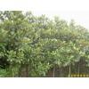 供应广玉兰等多种绿化苗木