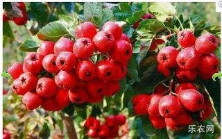 山楂是什么季节的水果?山楂不能和什么一起吃?营养价值高吗?