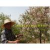文冠果一年、两年、三年苗 文冠果种植 文冠果价格