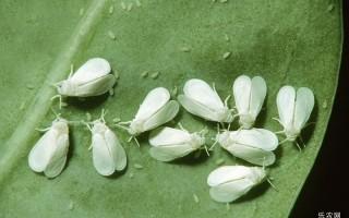 白粉虱的伤害病症有什么?白粉虱怎样预防?