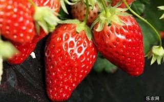 温室大棚种植草莓花果期如何管理方法?温室大棚种植草莓花果期的管理方法
