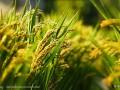 稻谷赤枯病如何治理?稻谷赤枯病症状表現及预防关键点
