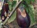 茄子褐纹病该怎么办?茄子褐纹病的伤害及有效防范措施