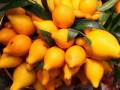 如何可以增大黄金果果品生产量的种植技术有什么?