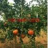 出售石榴苗、突尼斯石榴苗、盆栽地载石榴苗、成活率高