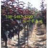 产地批发10公分-12公分-15公分紫叶李树苗规格齐全