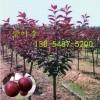 供应紫叶李1公分-12公分紫叶李树苗多少钱一株