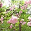 3公分樱花价格、5公分7公分樱花树苗基地直销