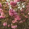 批发樱桃苗、5公分樱花价格、7公分樱花价格直销