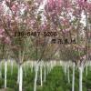 批发3公分、5公分、7公分樱花树苗价格直销