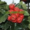 出售香椿苗-2公分3公分香椿树苗4公分香椿树苗价格