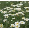 除虫菊种子 杀虫剂-除虫菊 无公害杀虫剂