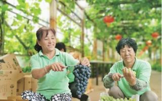 北京市密云区8000亩葡萄园到了採摘季