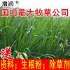 新型皇竹草种节持续发货中