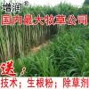 台湾甜象草种节包邮啦