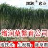 增润草种节种苗 增润牧草种子 增润农业多年生
