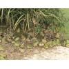 禾牧黑斑蛙种苗价格及养殖技术