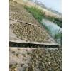 禾牧黑斑蛙养殖合理运用生石灰的养殖技巧
