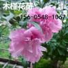 木槿花树苗规格齐全4公分-5公分木槿花基地