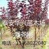 常年供应7公分-8公分9公分紫叶李树苗基地