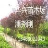 紫叶李、4公分-5公分-6公分紫叶李树苗带土发货
