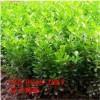 1米冬青树苗/1.2米-1.5米冬青树苗