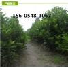 常年供应冬青树苗、1.2-1.5米冬青树苗带土发货