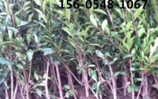 出售102-1.5米冬青、冬青树苗基地直销