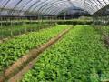 有机蔬菜的栽培管理高效种植技术