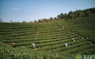 """成功案例丨解密金井茶叶如何从""""代工厂""""发展成为湘茶领军企业"""