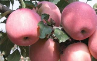 矮化苹果苗、柱状苹果苗、红富士苹果苗基地直销