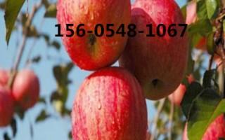 出售苹果树苗基地   红肉苹果苗 嫁接苹果苗 苹果苗规格齐全