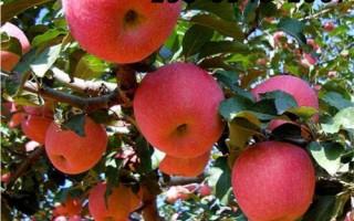供应1-3公分苹果苗、红肉苹果苗多少钱一株