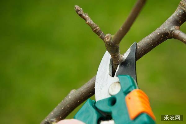 果树锯口淌黑水原因