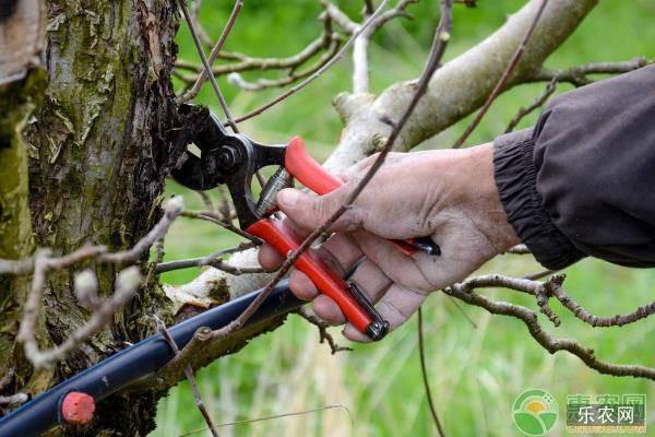 果树锯口腐烂原因