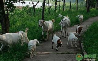 庭院如何养羊?这六大要点很重要,养殖户必看!