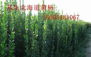 供应1米、1.5米、1.8米丛生北海道黄杨报价