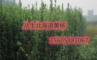 1.2米北海道黄杨、1.8米北海道黄杨多少钱一株